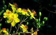 Tìm Hiểu Về Hoa Mai Vàng Việt Nam